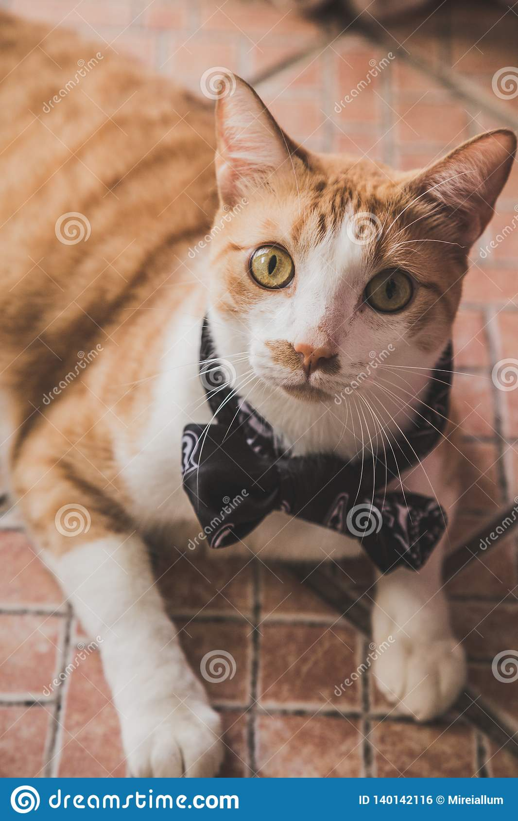 An orange and white cat with bow tie.