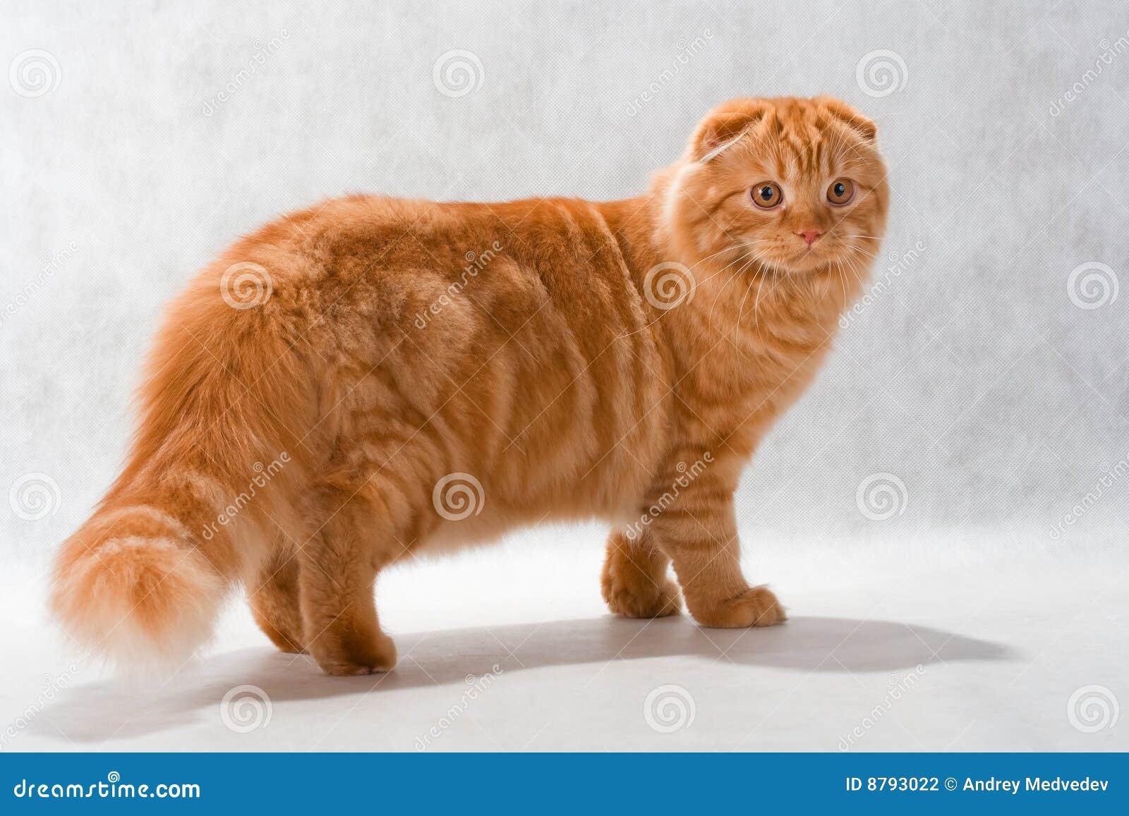 Cat Breed Highland Fol...