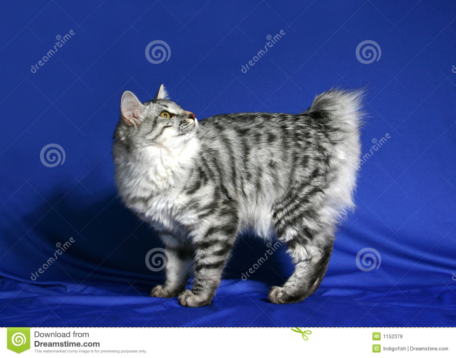 Cat of breed Kuril bobtail