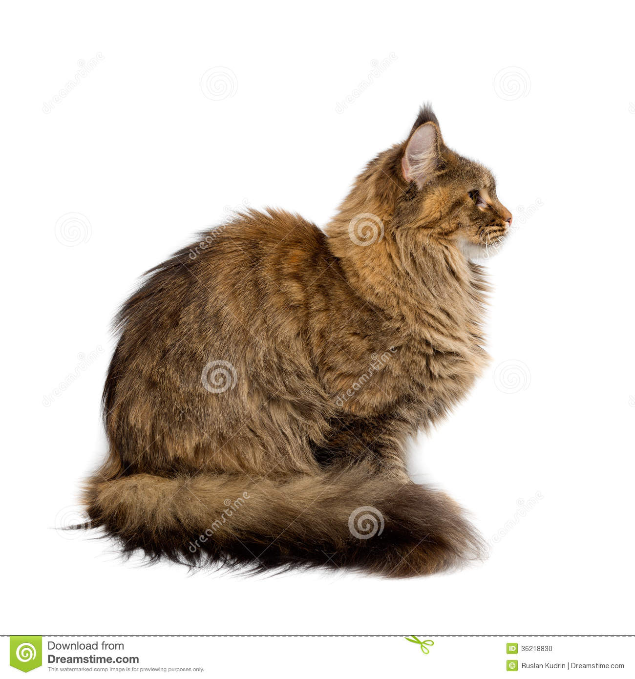 Maine Coon Cat Breed Profile