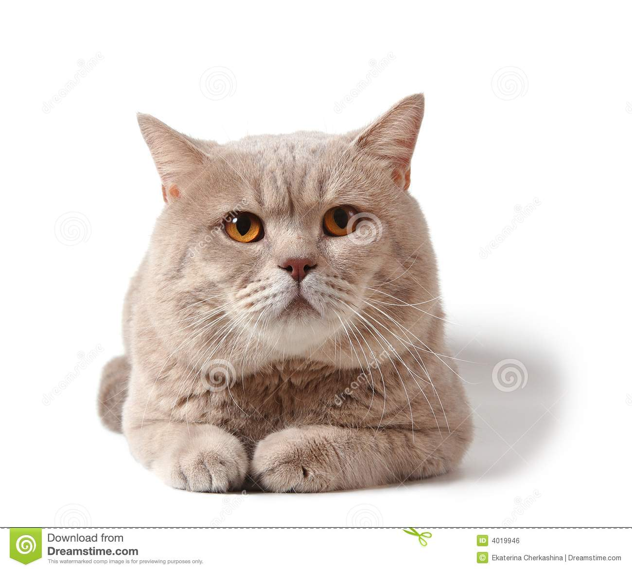 Breed info find a cat breeder british shorthair cat breed information