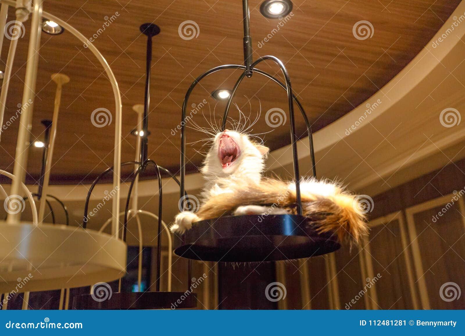Cat Cafe Shibuya Stock Image Image Of Angora Feline 112481281