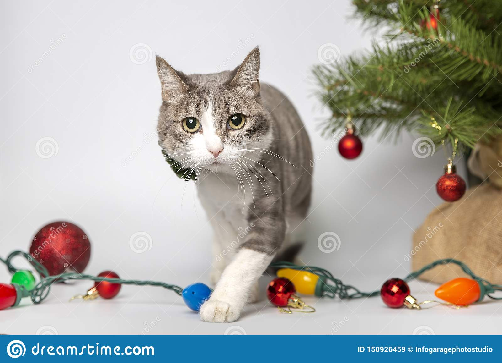 Cat with christmas balls in studio