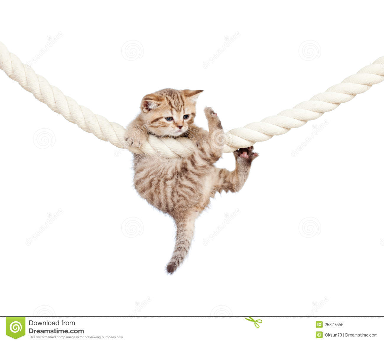 Cat Clutching At Rope Isolated On White Background Royalty ...