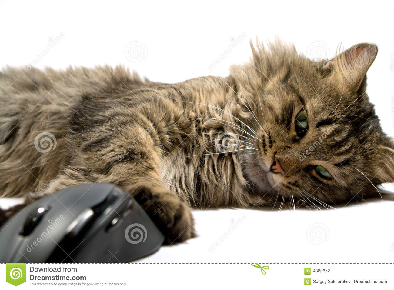 A cat and the computer mouse on a white background