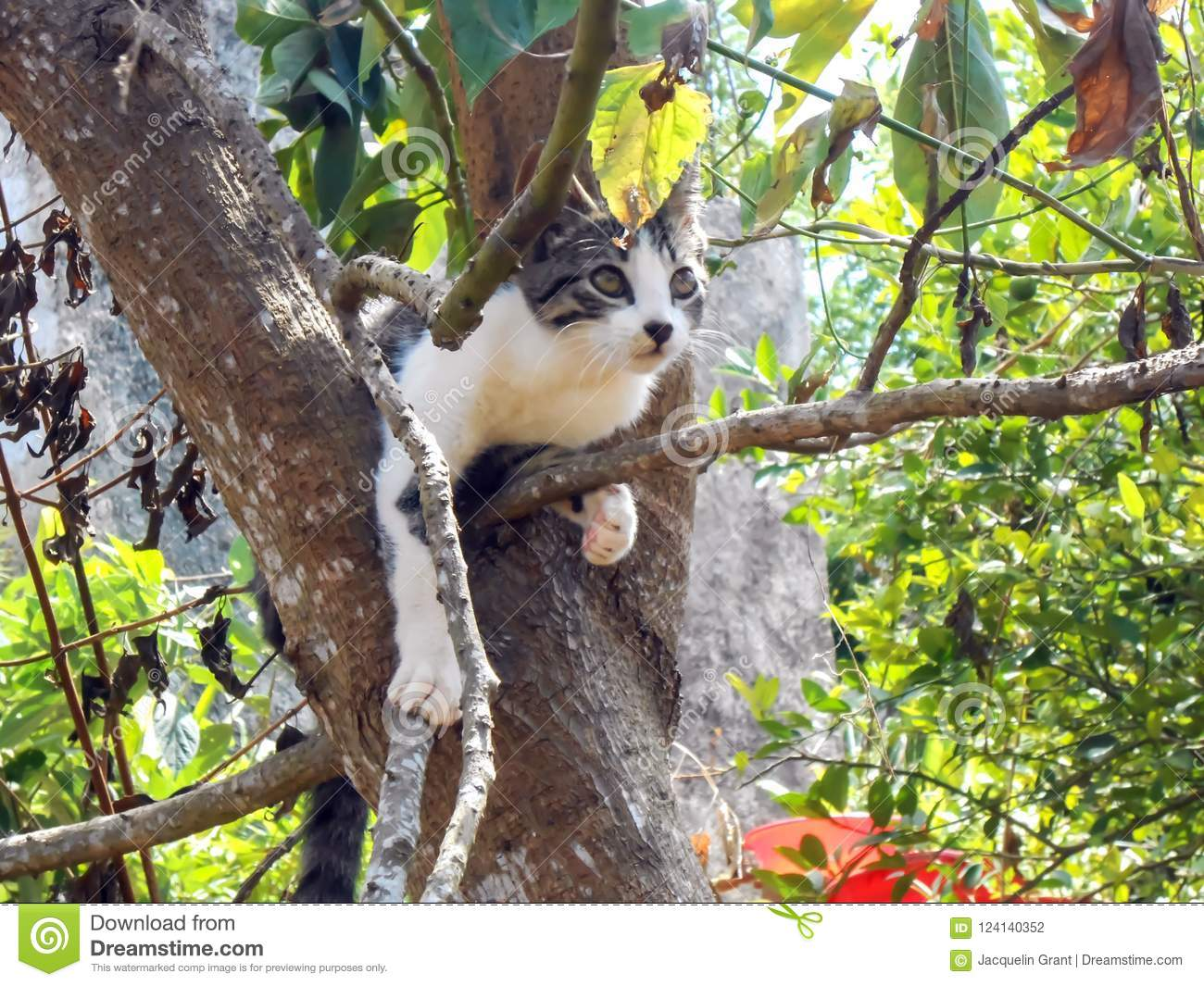 88fb21db00063 Curious, carefree domestic black, grey, and white cat in backyard,  climbing, positions itself in an avocado tree where the trunk splits in two  major boughs.