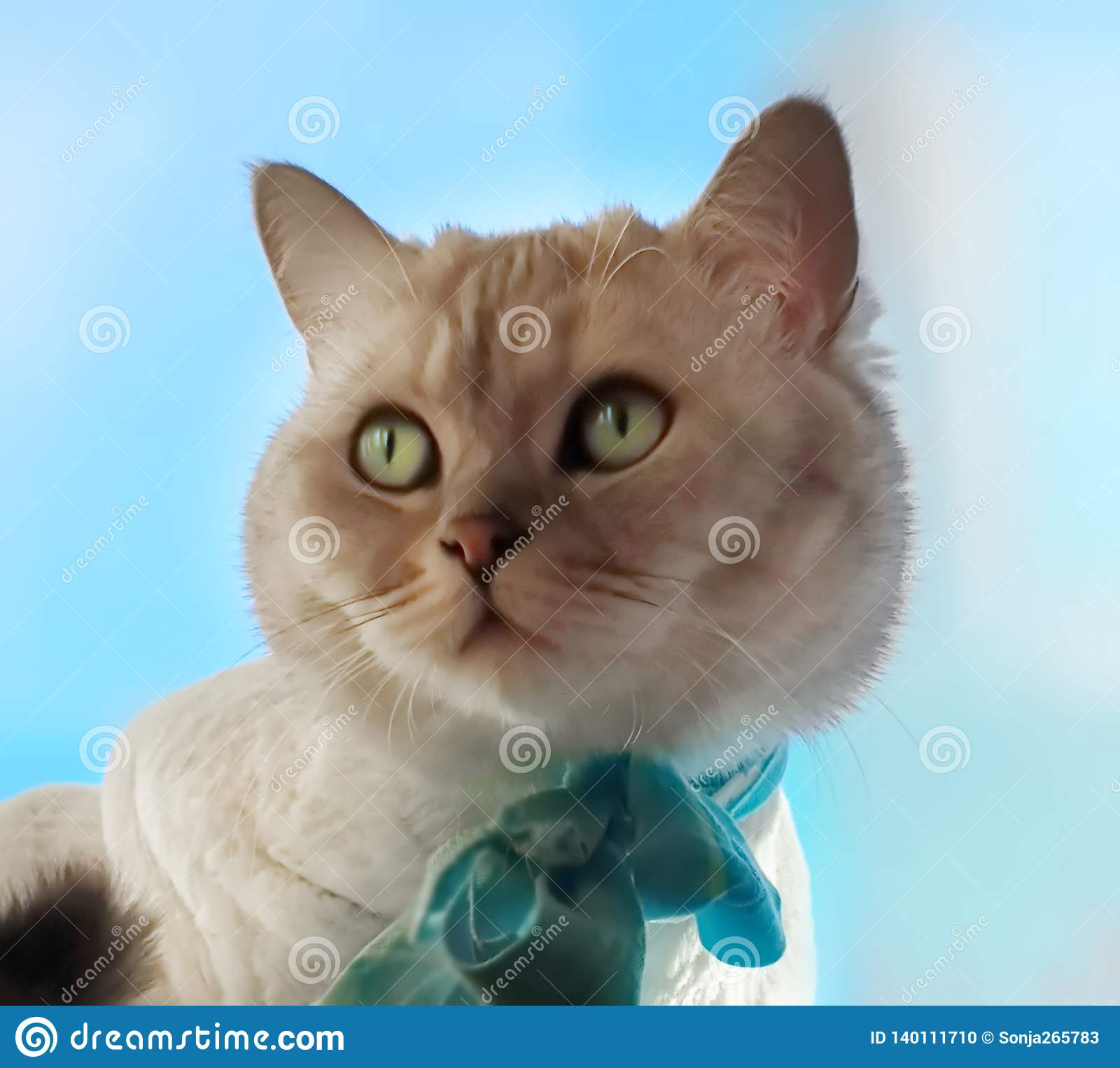 Cat Cute Funny British Cat white grey Cats Spring Cats