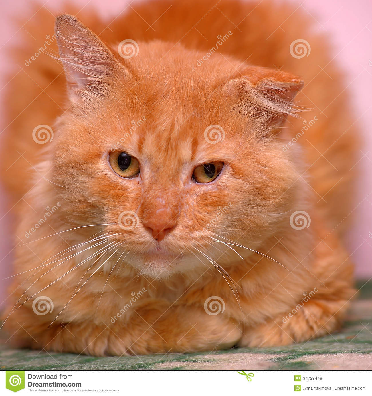 Cat With A Damaged Ear Royalty Free Stock Photos - Image: 34729448