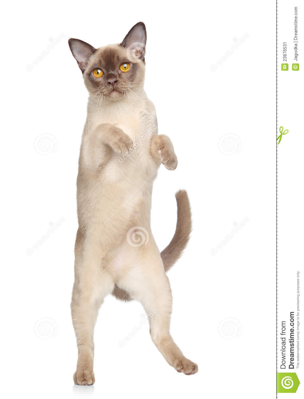 Cat is dancing on white background