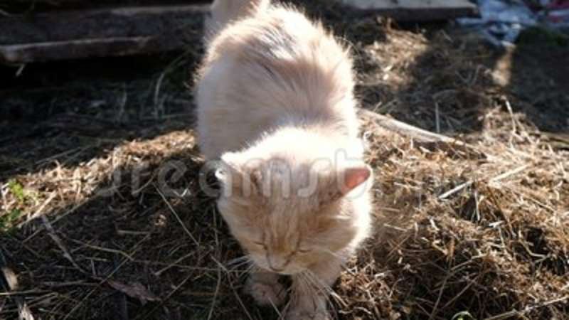 Cat digs a place for a toilet, bury hay with its paws, slow motion
