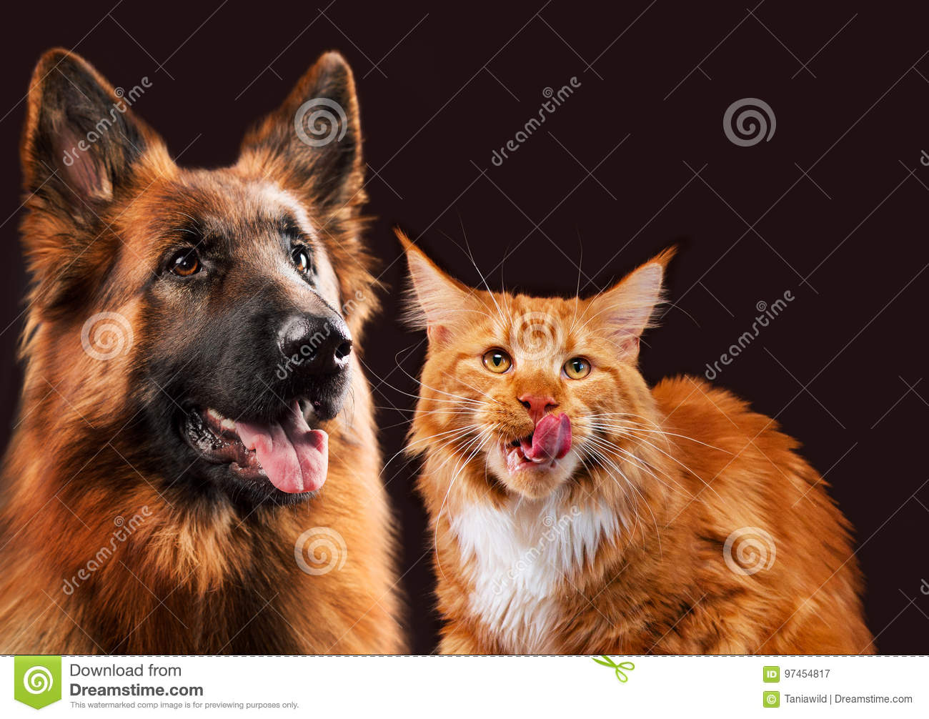 Cat And Dog Together Maine Coon Kitten German Shepherd Look At