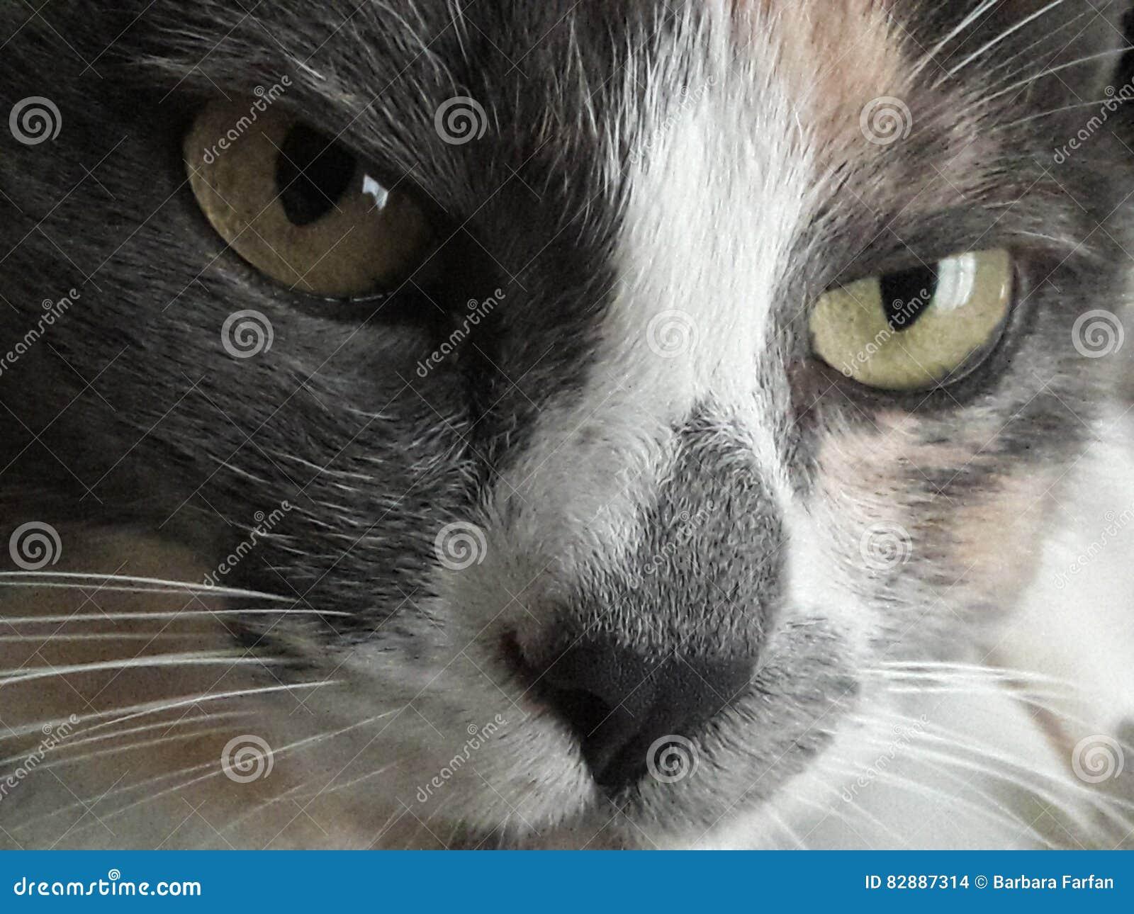 Cat Eyes Stare verte sévère puissante, favoris, portrait multicolore de plan rapproché de fourrure