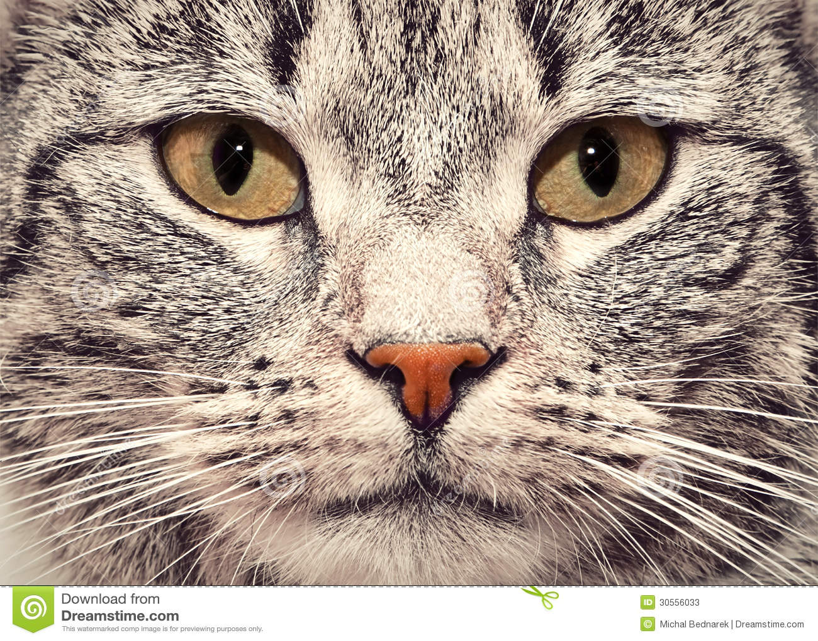 cat face close up portrait stock photos image 30556033. Black Bedroom Furniture Sets. Home Design Ideas