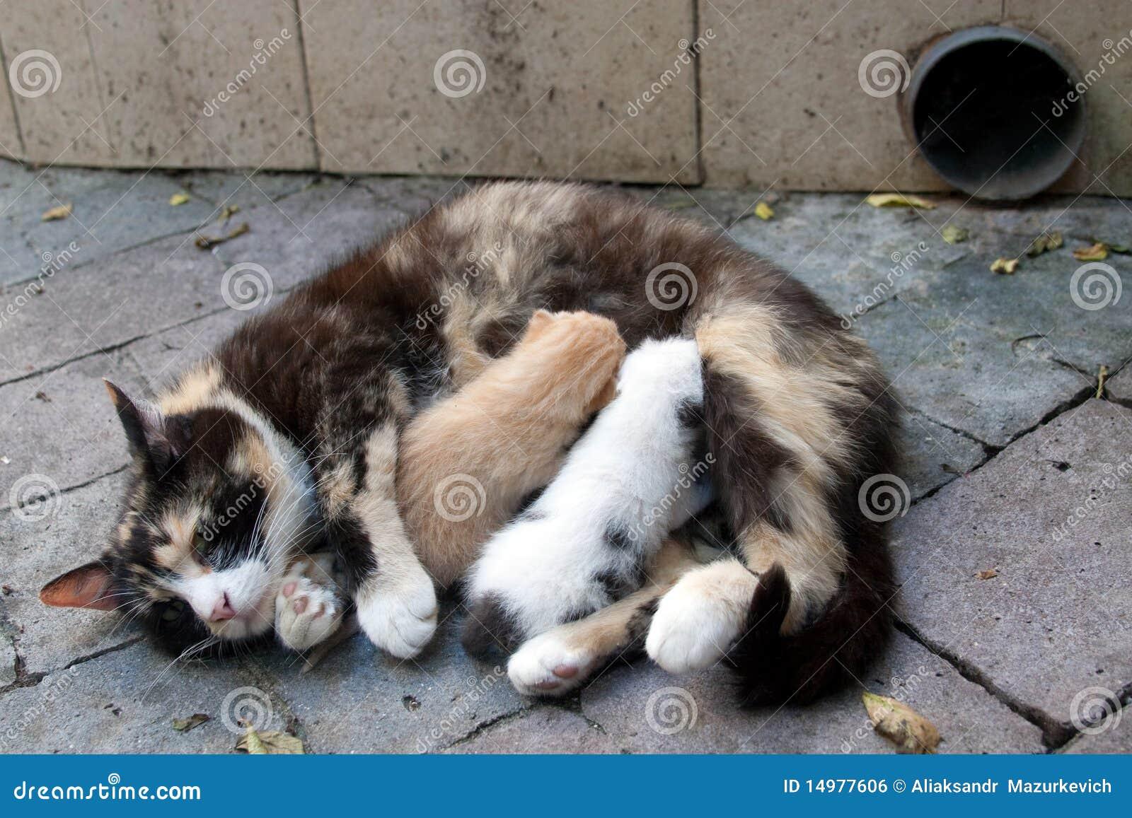 Cat feeding two kittens stock photo Image of motherhood