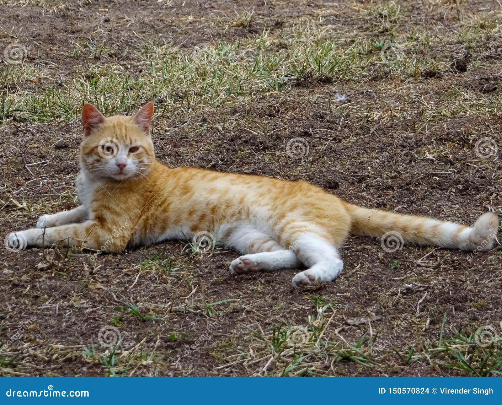 Cat Felis Domesticus inställning på land