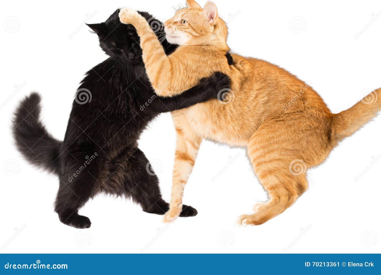 Free cat fighting