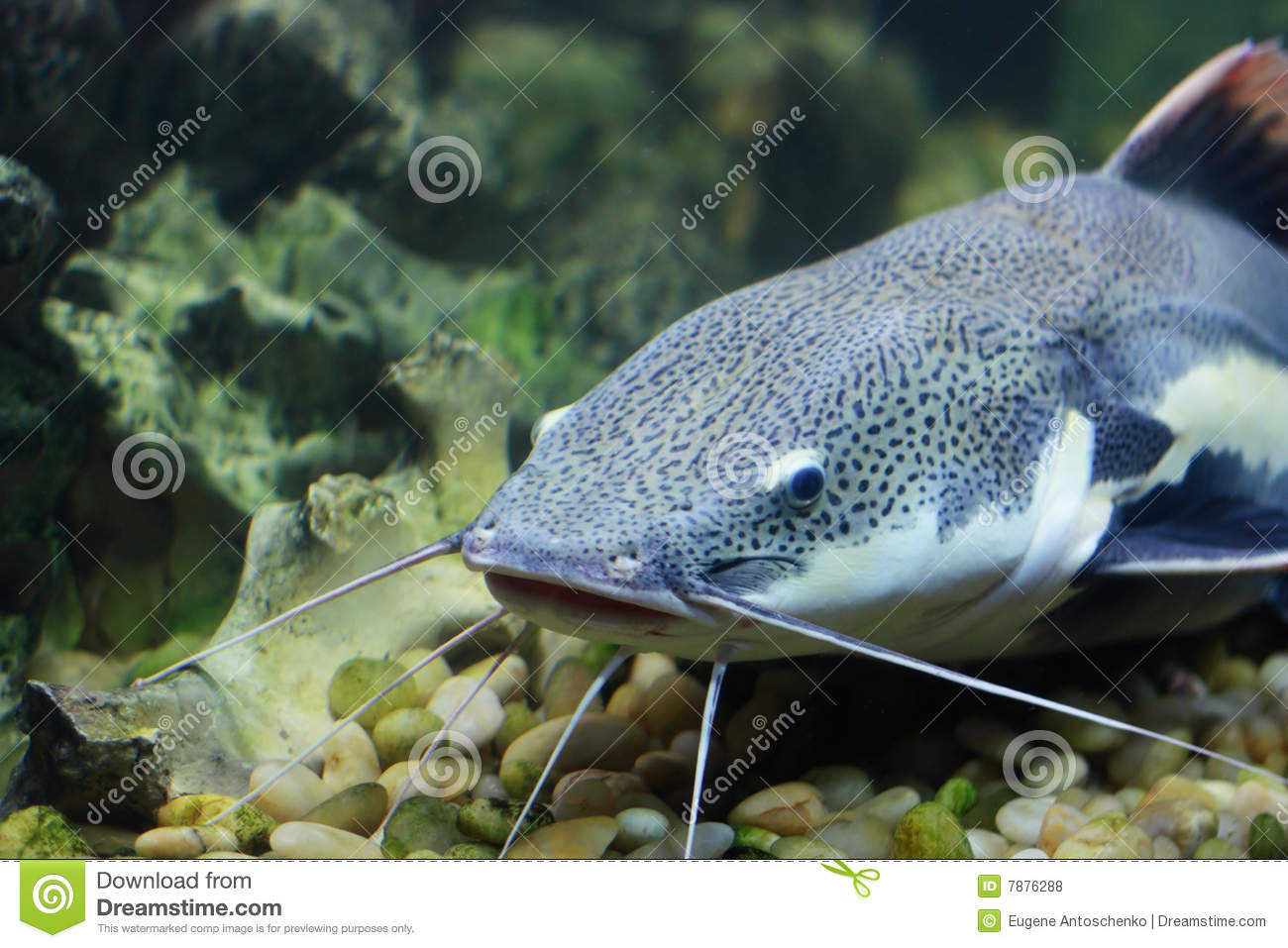 Cat fish royalty free stock photos image 7876288 for Fish videos for cats