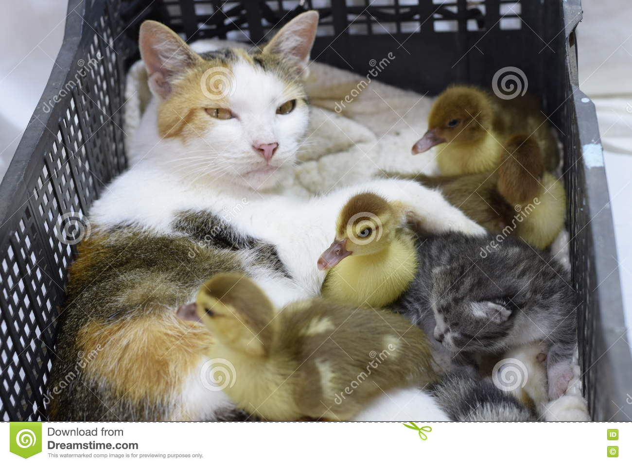 Kitten box of ducklings