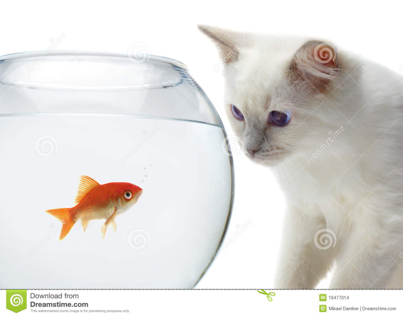Cat and a gold fish stock photo image of pets isolated for Fish videos for cats