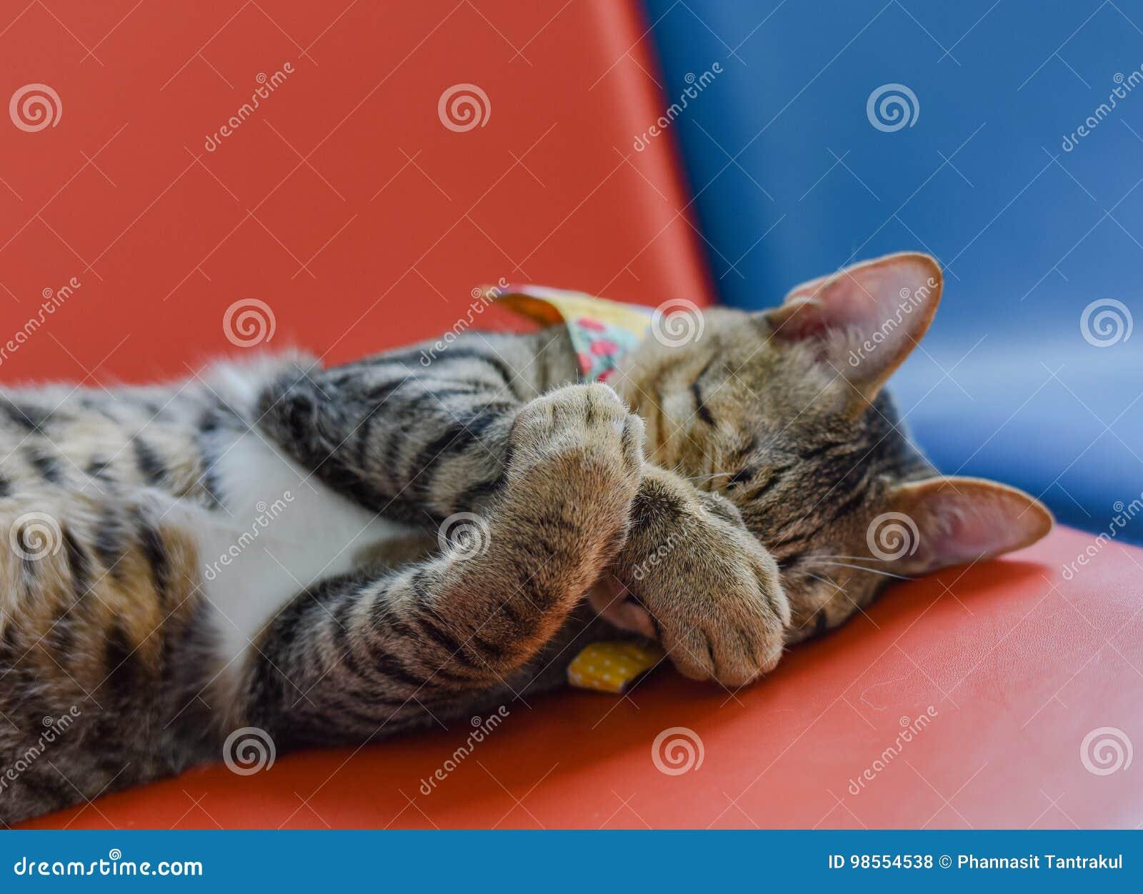 Cat Good Sleeping preciosa
