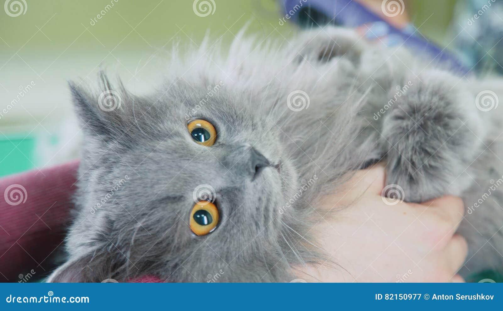 Cat Grooming British Longhair Cat On A Haircut Barber Pet Stock