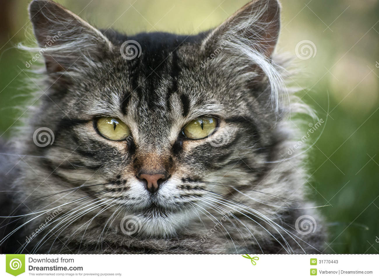 Fluffy White And Grey Cat Cat head stock image. ...