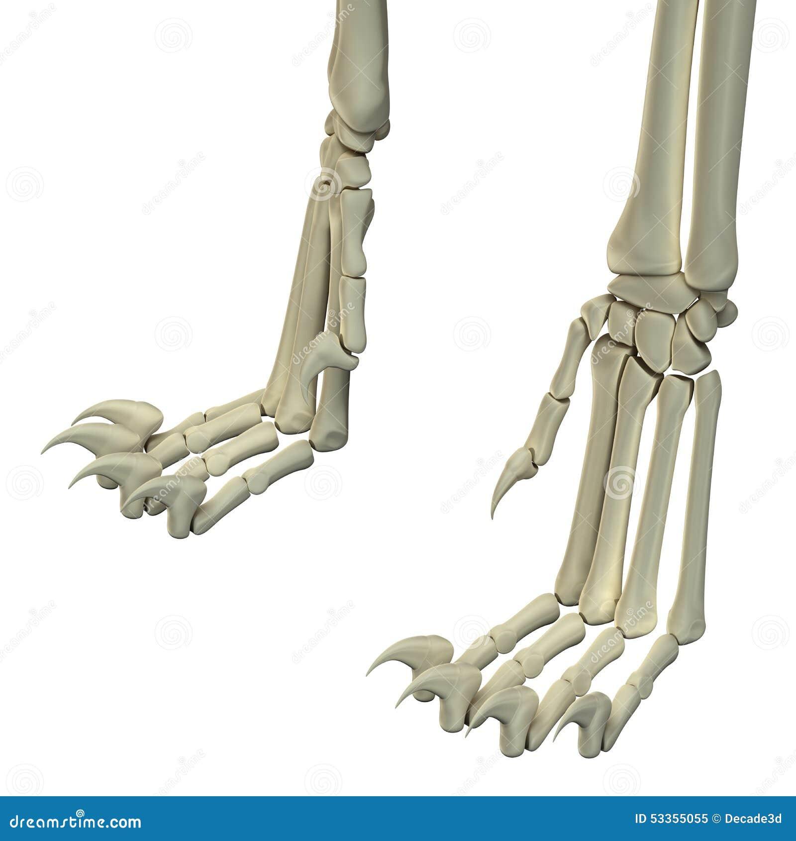 Cat Hind Legs Anatomy Bones Stock Image - Image of back, hind: 53355055
