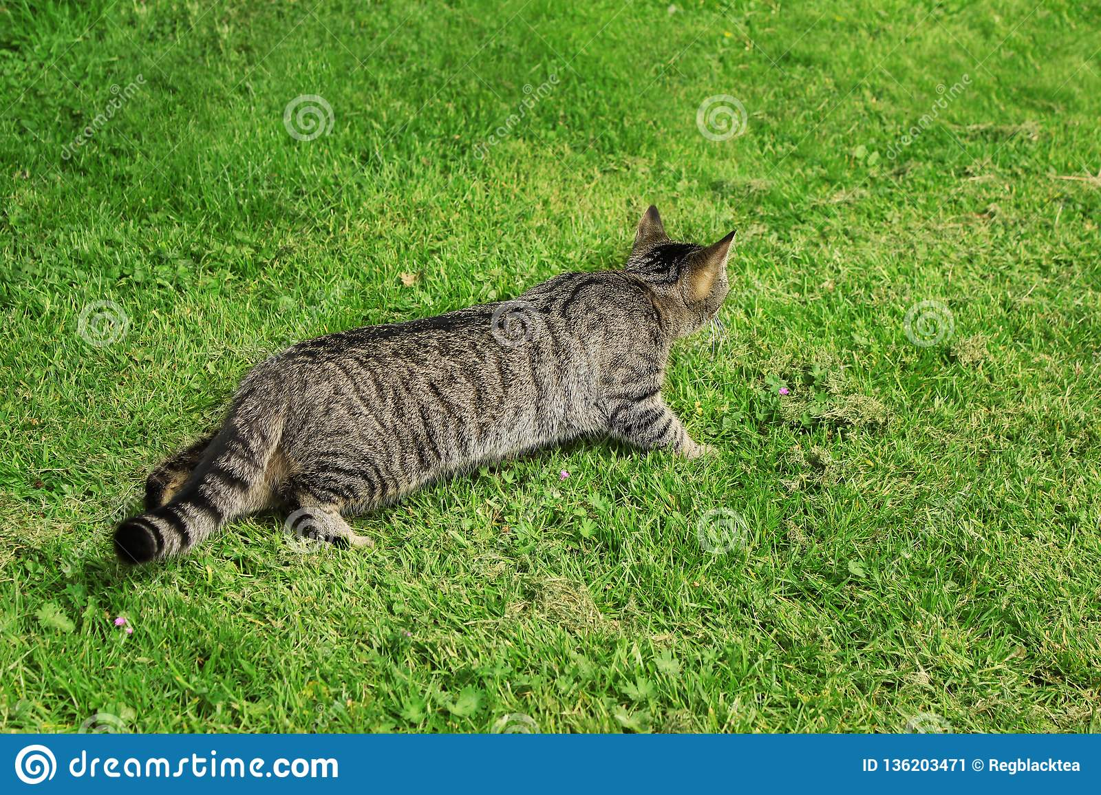 Cat hunting. Tabby cat outdoor on green grass.