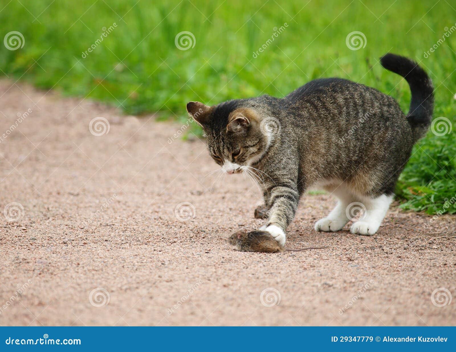 cat hunts mouse stock image image of playing sacrifice 29347779