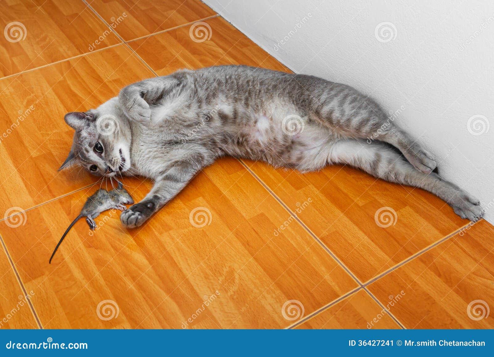 Cat kill rat stock image image 36427241 for Mice in between floors