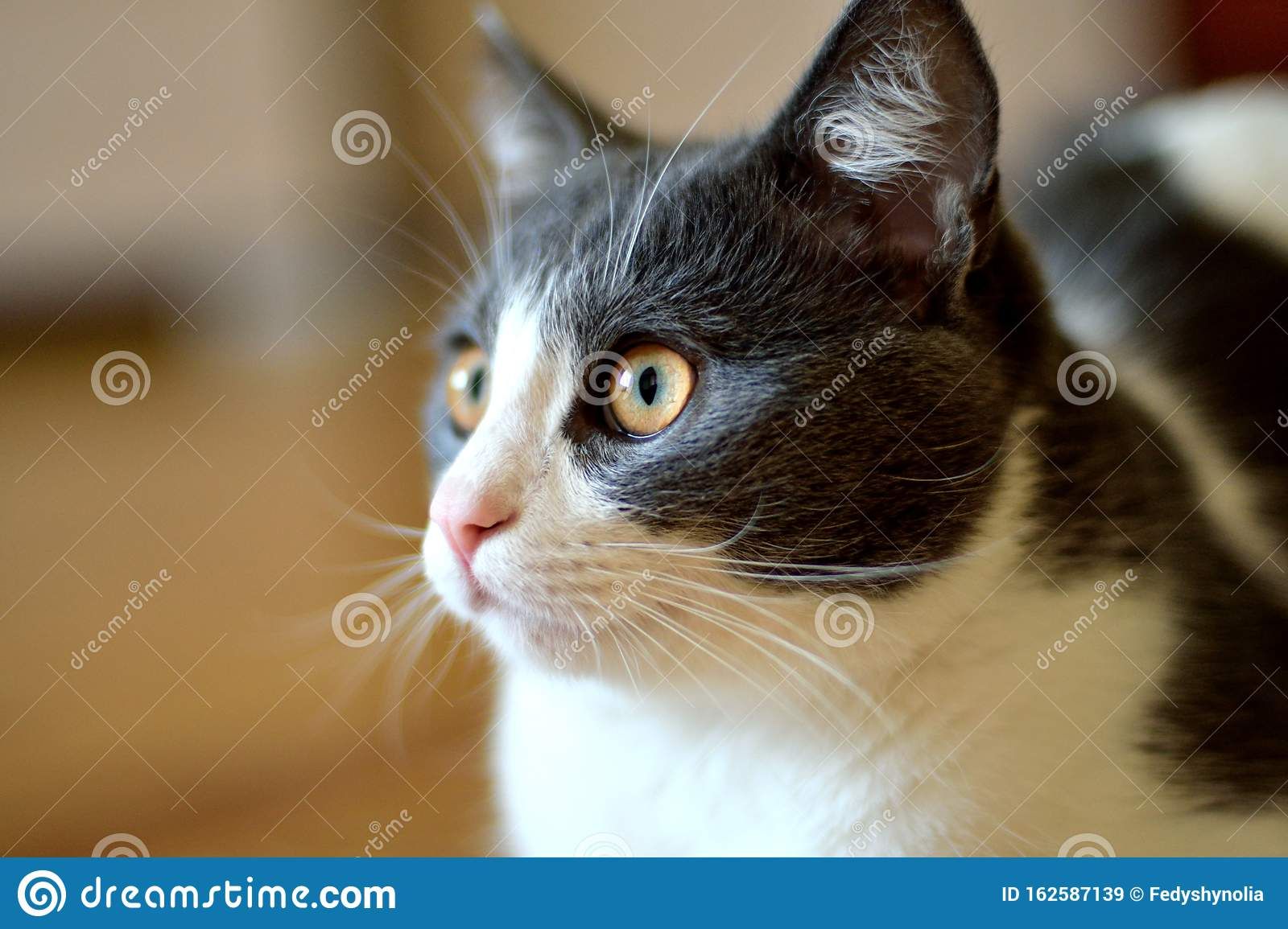 Cat Kitten Kitty Domestic Grey Ehite Big Eyes Beautiful Fluffy Red Pink Nose Cute Clean Bright Love Family Stock Image Image Of Flame Family 162587139