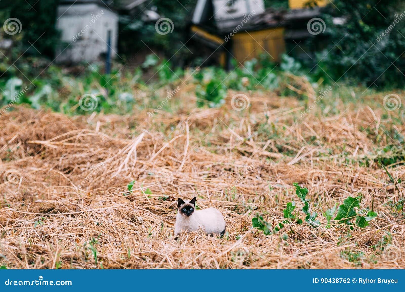 Cat Kitten Sit In Dry Grass Outdoor siamesa linda en Autumn Evening
