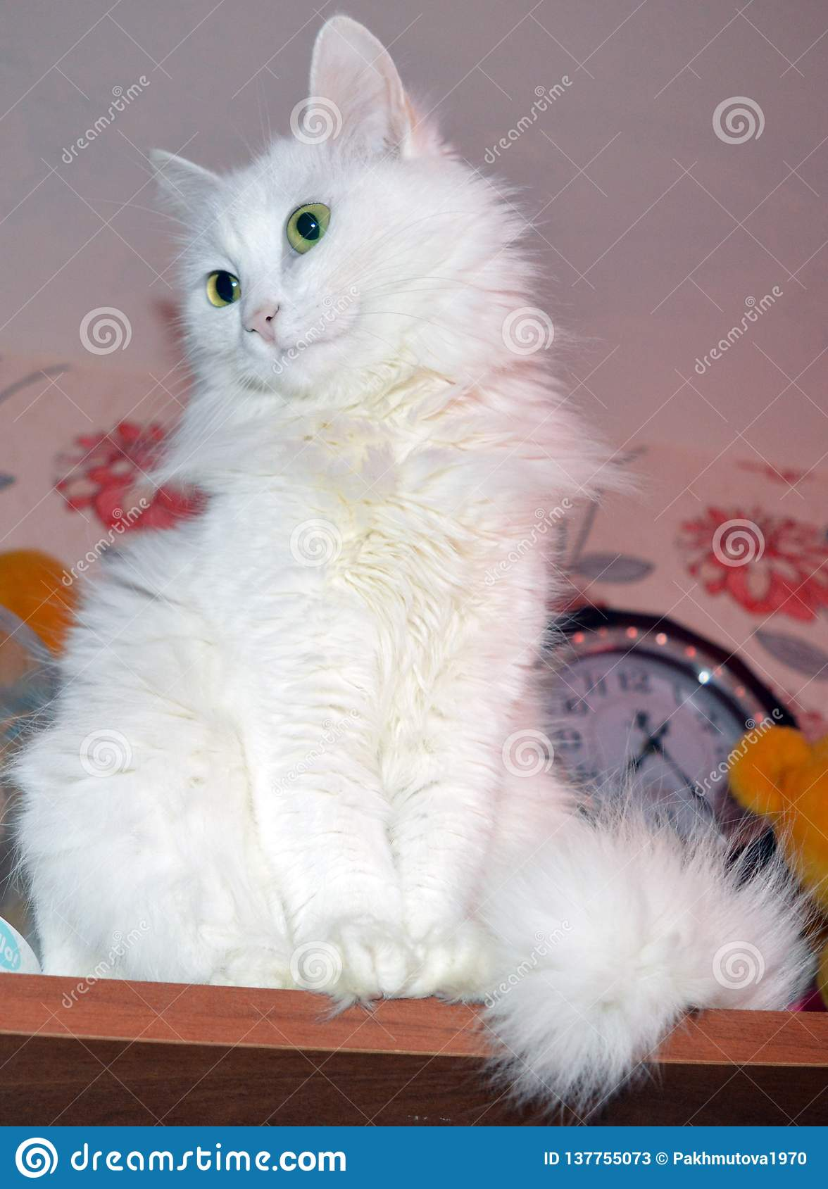 Cat Kitten White Pet Animal Cute Feline Kitty Domestic Fur Young Adorable Blue Eyes Siberian Fluffy Portrait Baby Stock Image Image Of Handsome Cooking 137755073