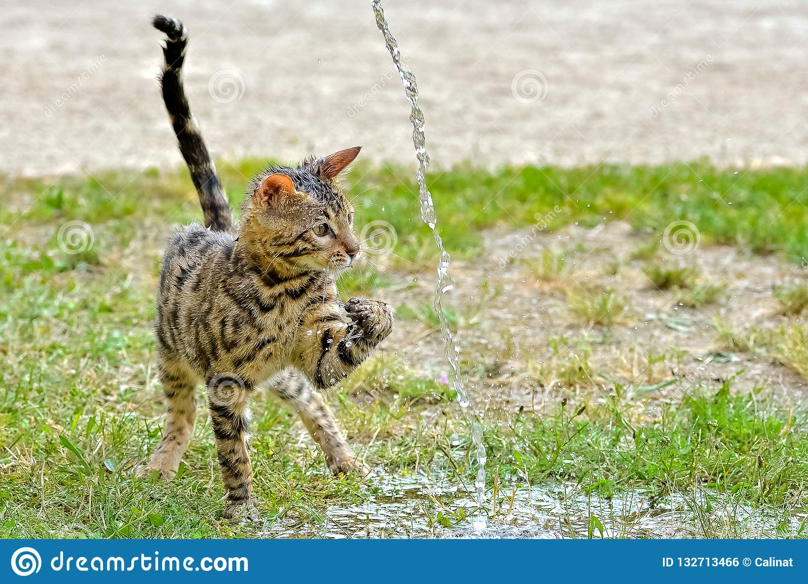 728d275da5 Bengal cat playing with water
