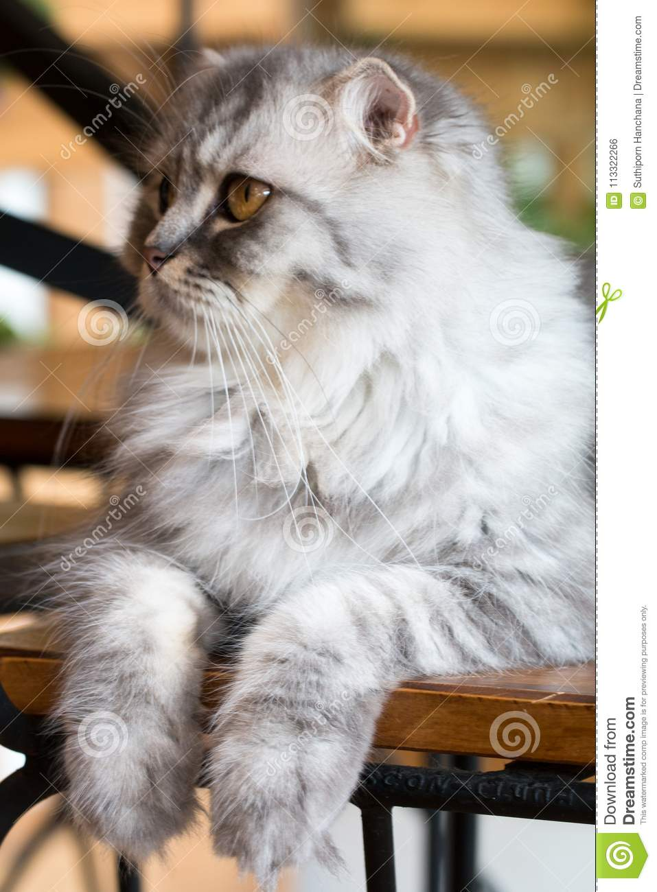 Cat,kitty Persian sit and see isolate on background,front view from the top