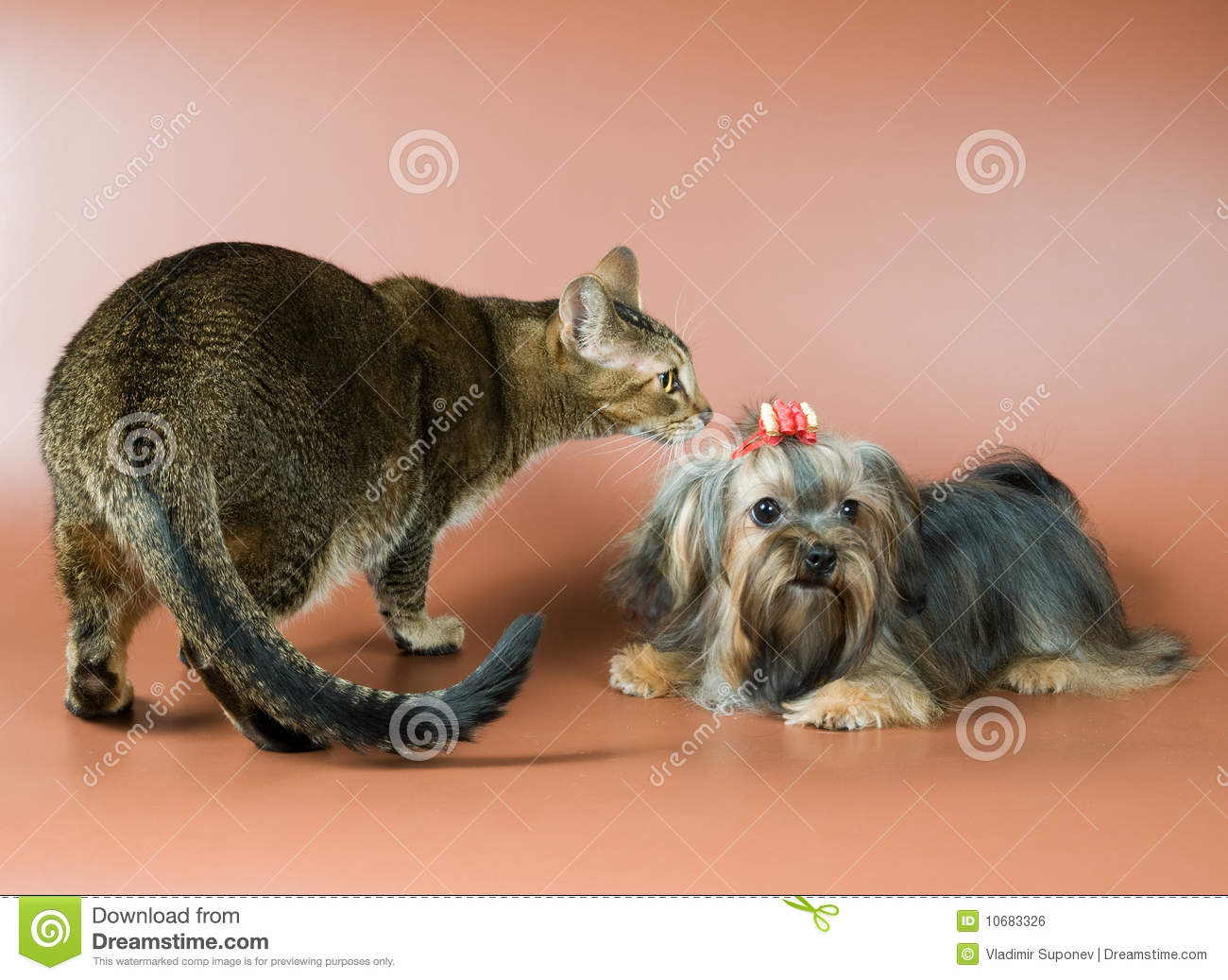 Download Cat and lap-dog in studio stock photo. Image of small - 10683326