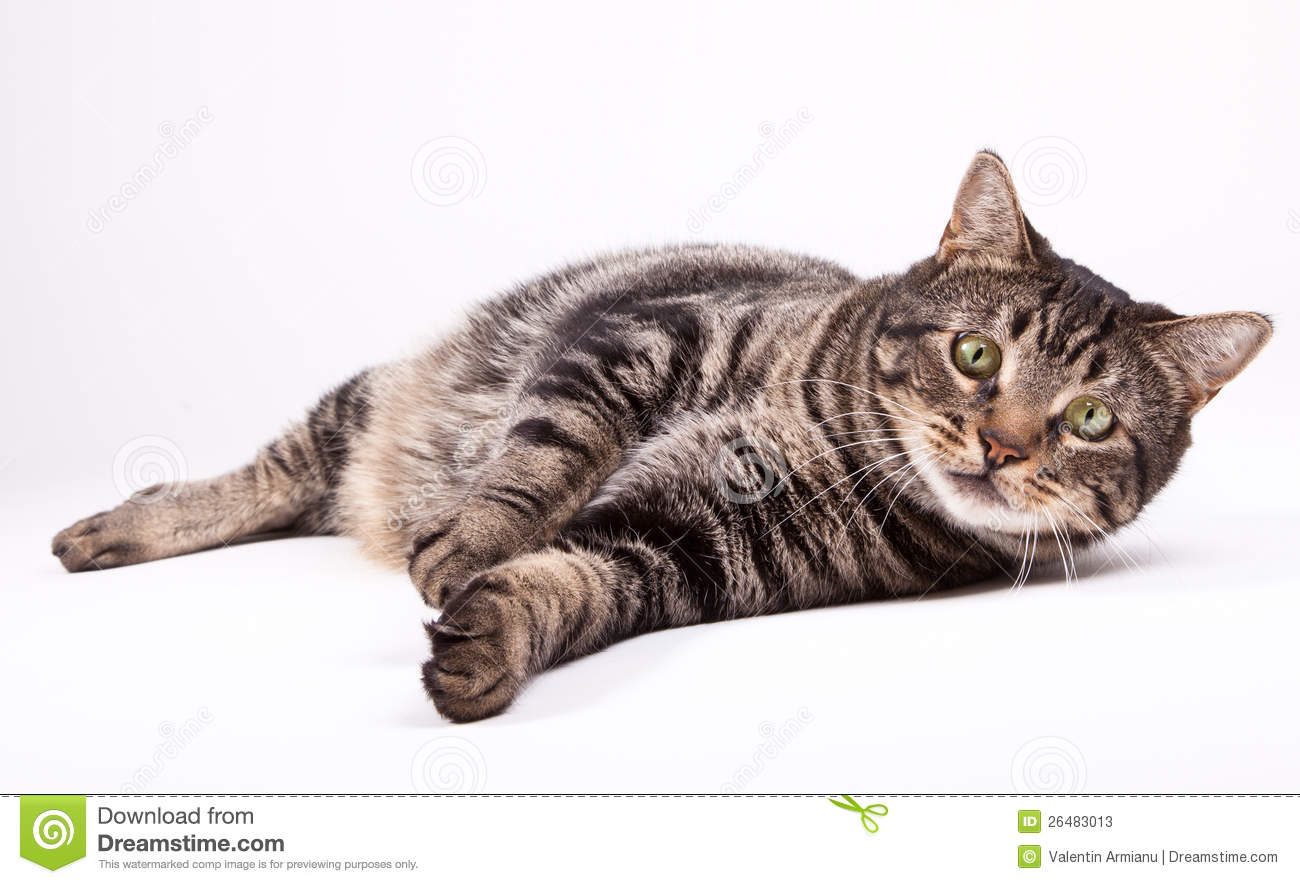 Cat laying down stock image. Image of furry, young, white - 26483013