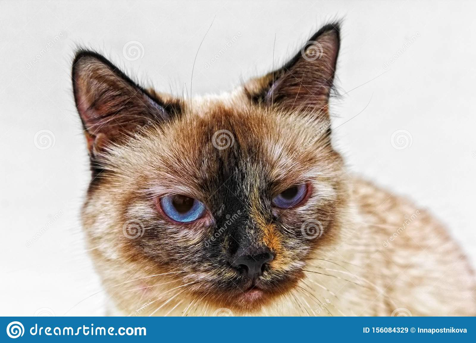 Cat Looks Like Grumpy Cat With Emotional Face On White Background Stock Image Image Of Beautiful Ugly 156084329