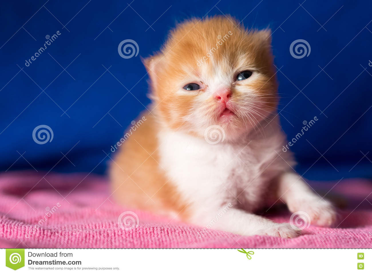Cat Lovely Kittens Orange Brown Color And White Color Stock