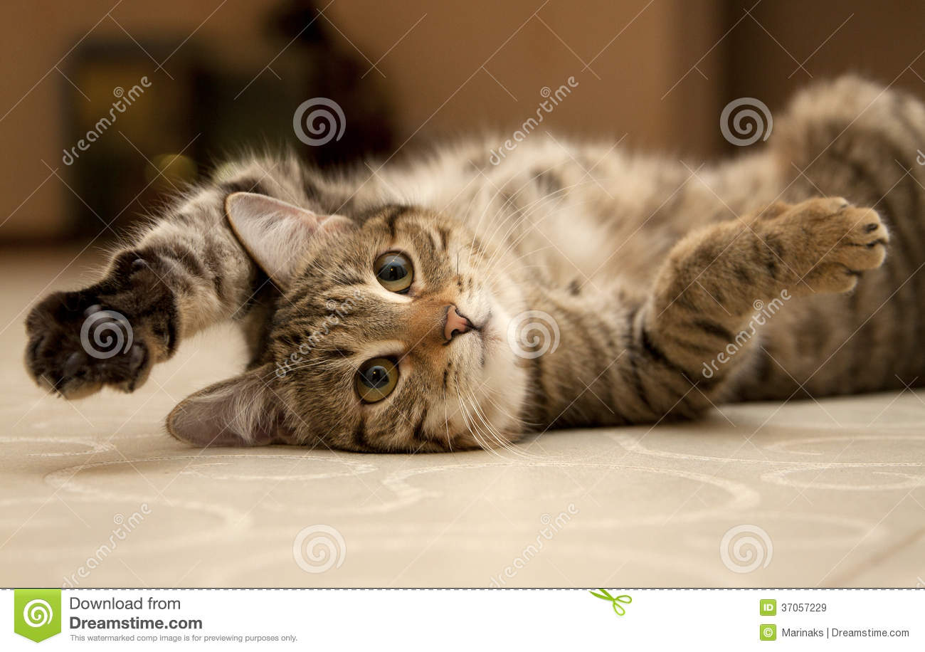 Download Cat stock image. Image of cute, lovable, carefree, flooring - 37057229