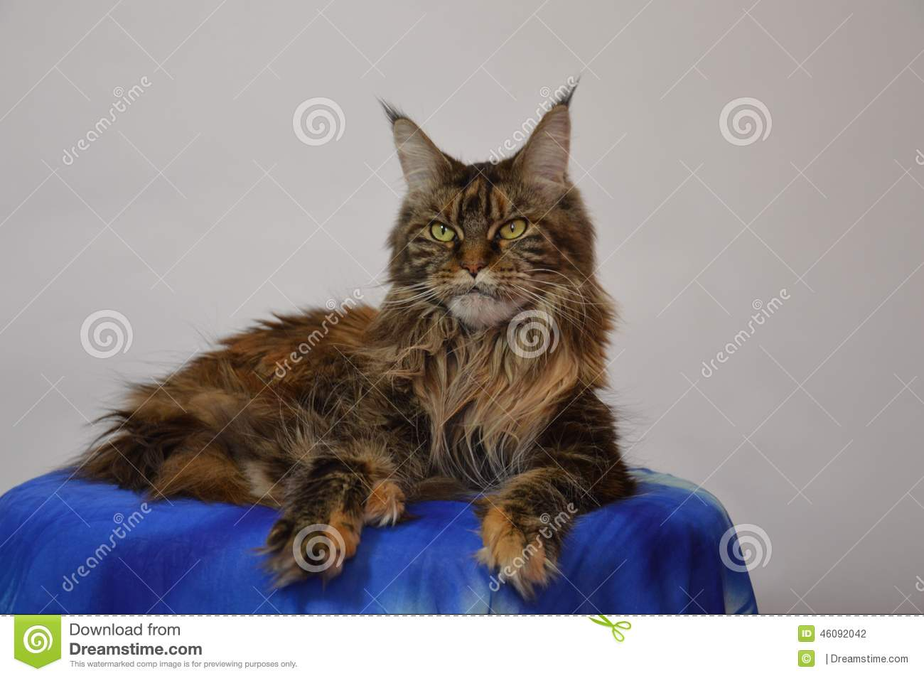 Cat Maine Coon with long beautiful tassels on the ears
