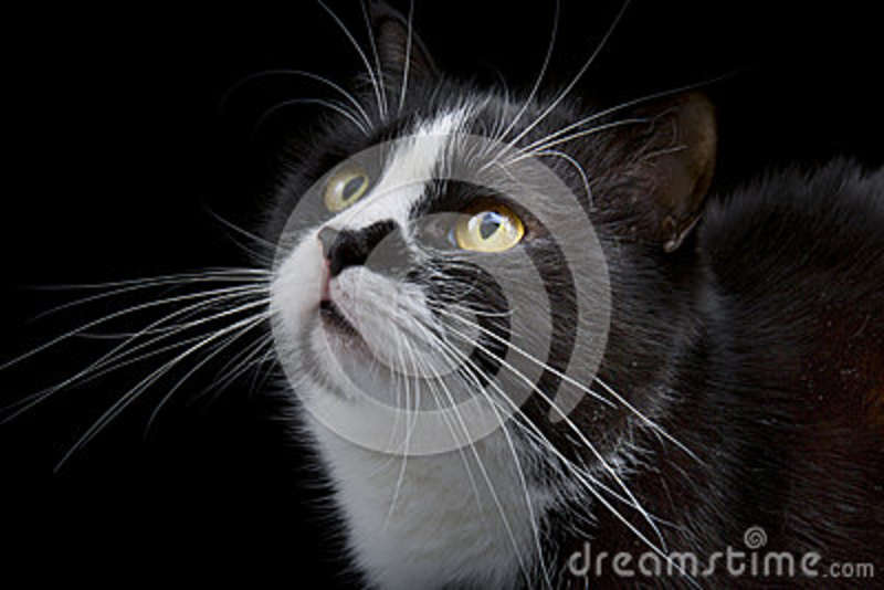 Cat muzzle with white whiskers