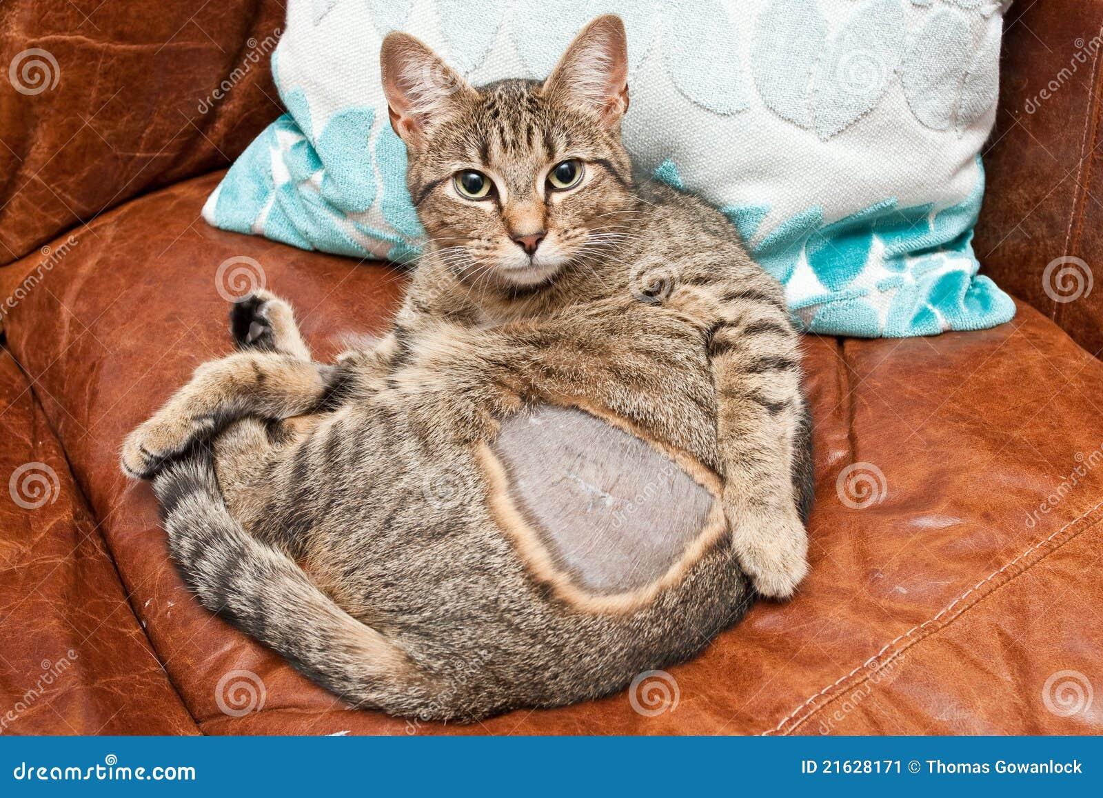 Cat Neutered Stock Image Image 21628171