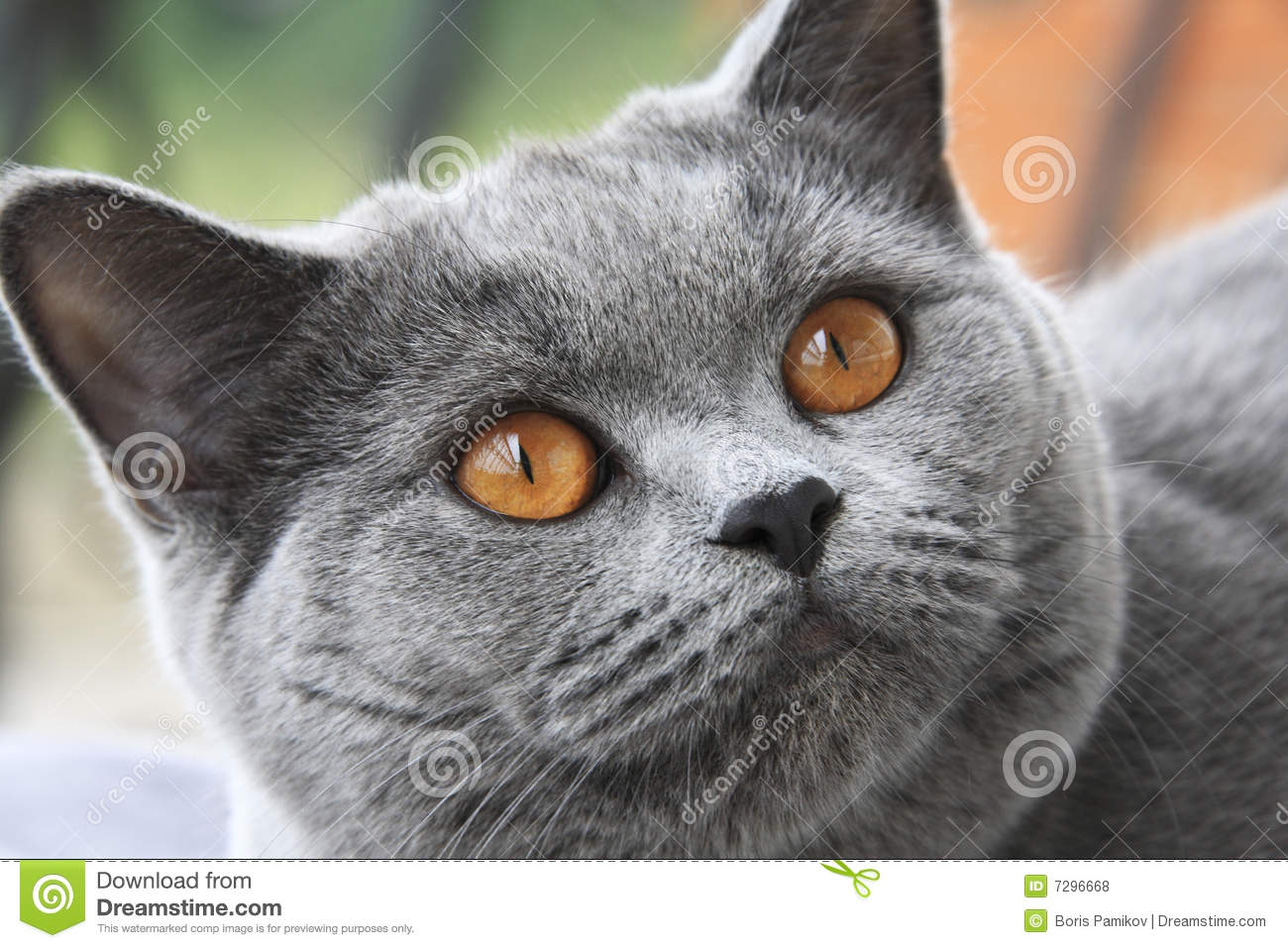 Cat With Orange Eyes, British Blue Shorthair Royalty Free Stock Photos ...