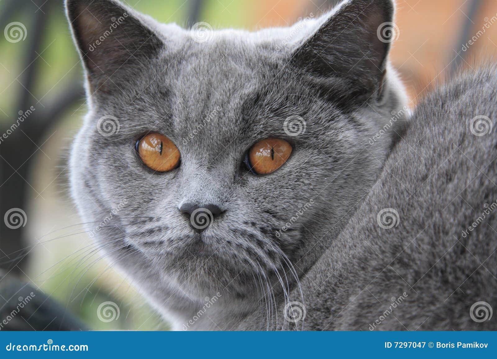 eyes blue Orange shorthair british