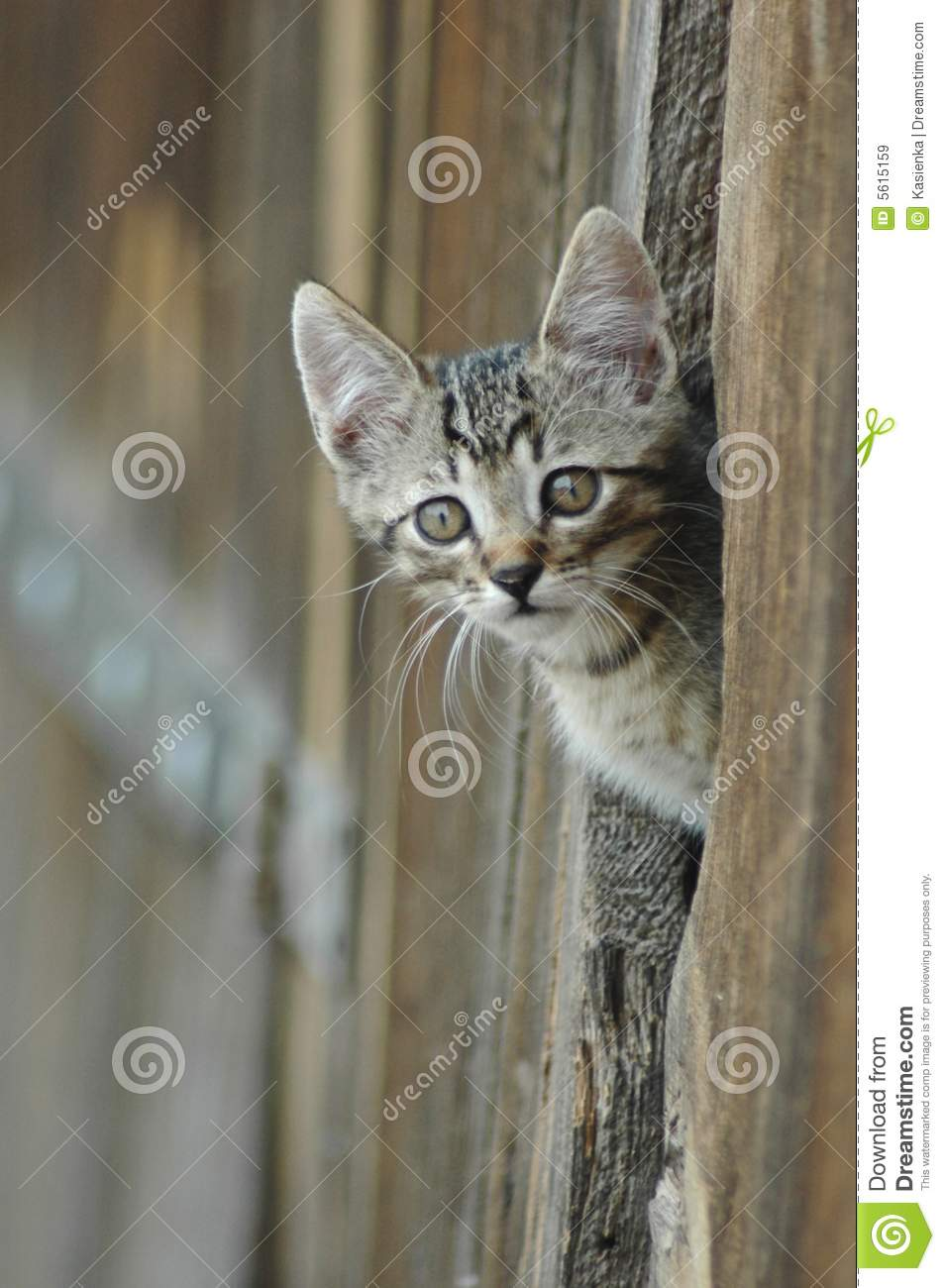 Cat Peeking Barn Door Royalty Free Stock Images Image