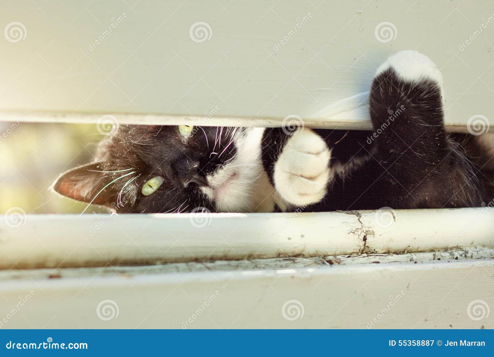 Cat Peeking Through Fence in bianco e nero