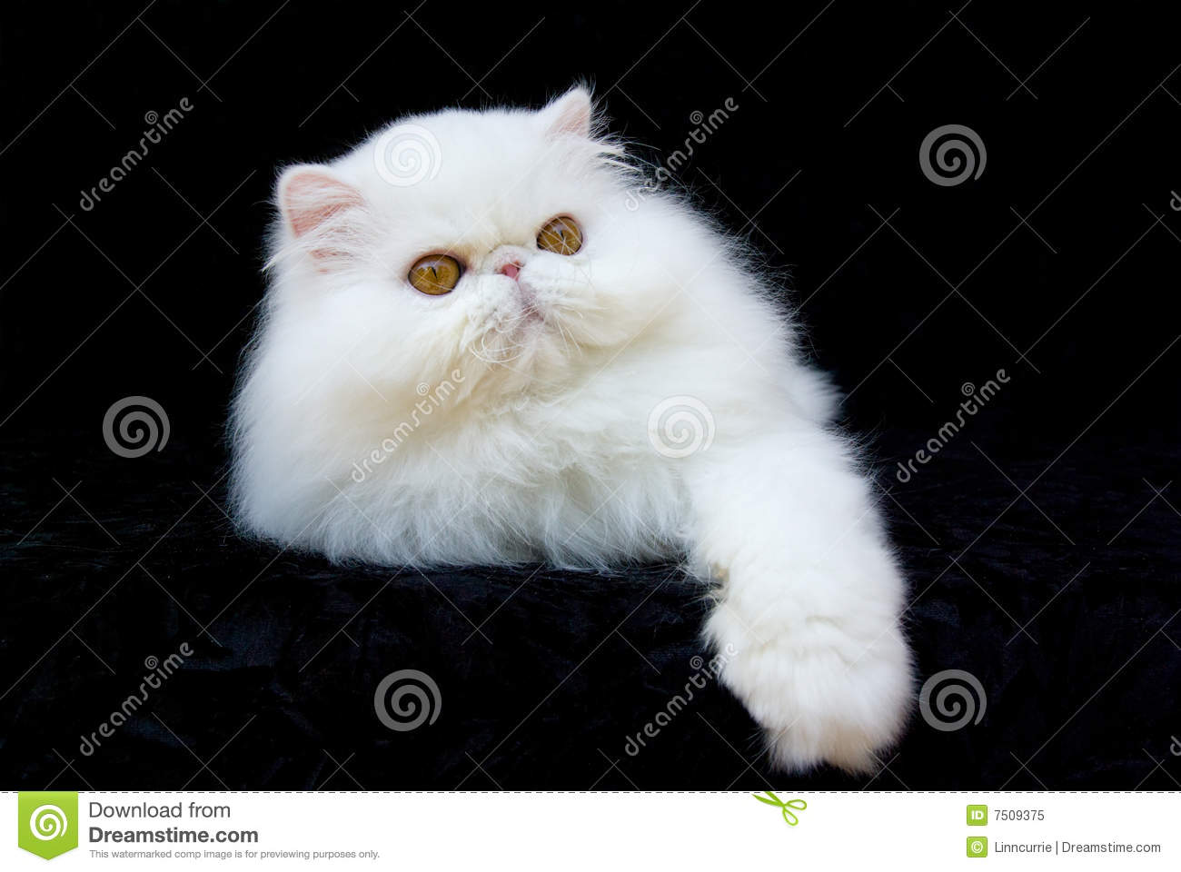 cat persian copper eyed white royalty free stock photo