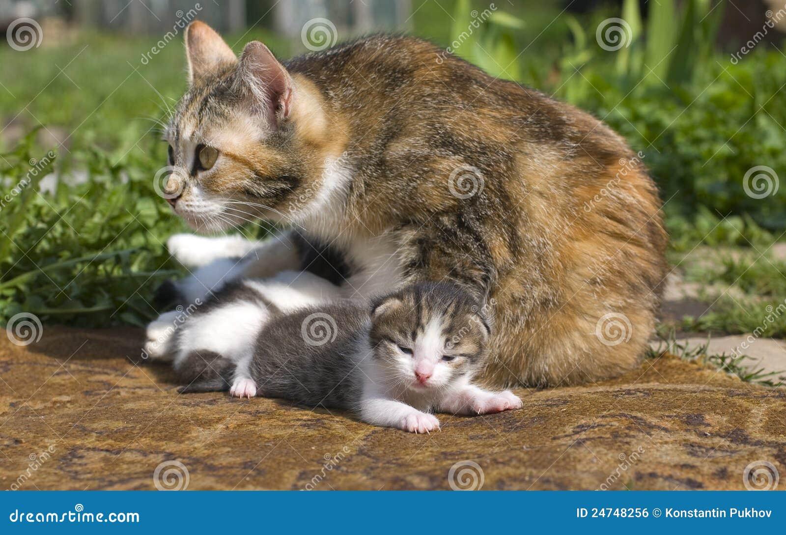 Irish Wild Cat