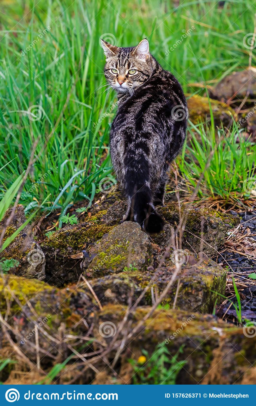 Cat on the Prowl in the Yard